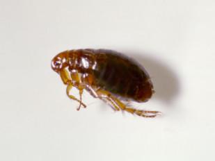 flea_1